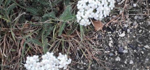 Achillée millefeuille (Achilea millefolium)